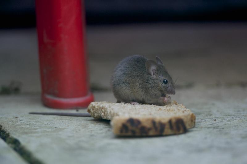 Eastern house mouse - Mus musculus - Linnaeus, 1758