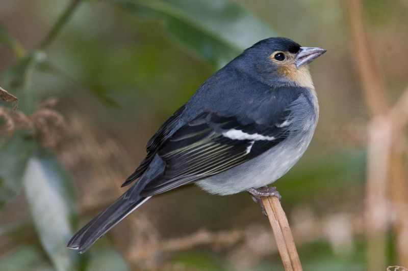 Blue chaffinch fringilla teydea webb berthelot moquin tandon 1841 - Blauwe agency ...