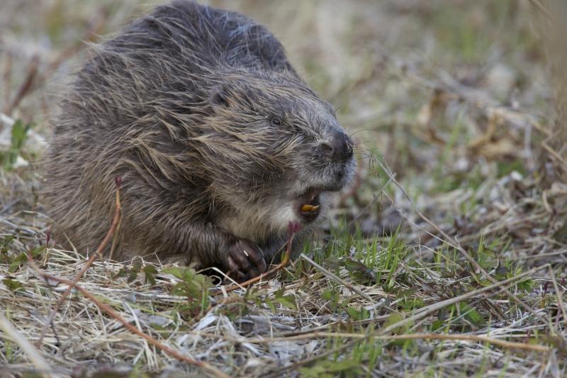 European beaver castor fiber linnaeus 1758 for Castor habitat